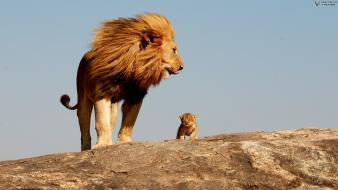 Animals cubs lions savage safari african wild life wallpaper