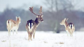 Animals deer fallow snow wild wallpaper