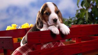 Animals dogs beagle wallpaper