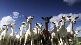 Animals goats wallpaper