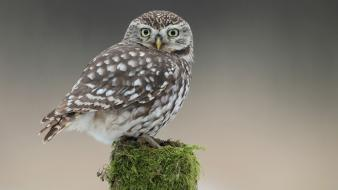 Animals owls moss tree stump wallpaper
