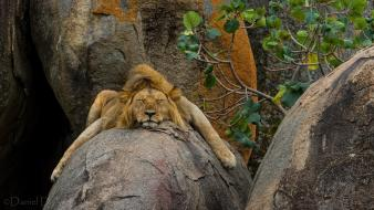 Cats animals sleeping lying down lions wallpaper