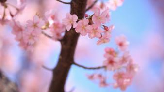 Cherry blossoms spring plants wallpaper
