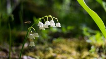 Flowers bokeh lily of the valley white Wallpaper