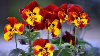 Flowers pansies wallpaper