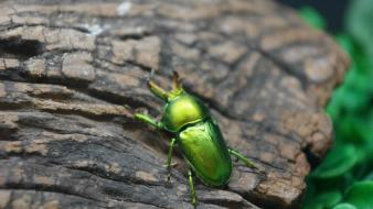 Insects beetles macro wallpaper