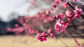 Japan cherry blossoms flowers Wallpaper