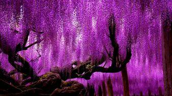 Japan trees flowers wisteria parks Wallpaper