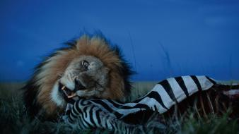 National geographic serengeti biting eating lions wallpaper