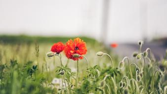 Nature flowers depth of field buds red poppies wallpaper