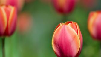 Nature flowers plants tulips Wallpaper