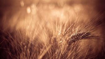 Nature plants bokeh macro depth of field spikelets wallpaper