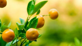 Oranges plants macro depth of field branches wallpaper