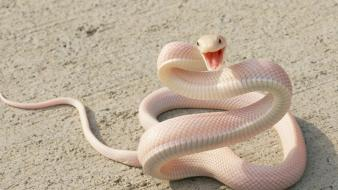 Snakes albino wallpaper