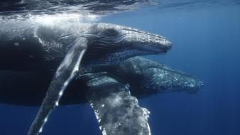 Water animals whales underwater humpback whale wallpaper