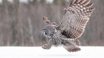 Winter animals owls wallpaper