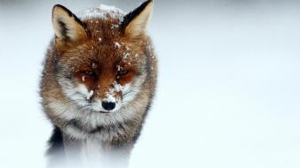 Winter snow animals cold foxes wallpaper