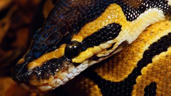 Animals ball python reptiles snakes wallpaper