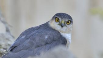 Animals birds falcon bird wallpaper