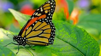 Animals butterflies insects nature wallpaper
