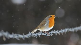 Animals depth of field barbed wire robins Wallpaper