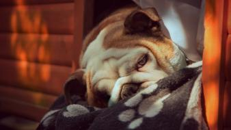 Animals english bulldog Wallpaper