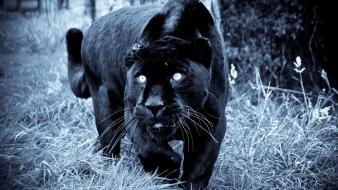 Animals grass panthers predators wallpaper