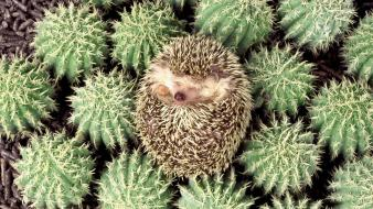 Animals hedgehogs cactus flowers wallpaper