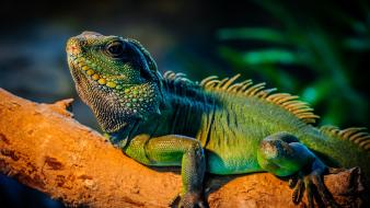 Animals reptiles iguana Wallpaper