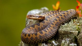 Animals reptiles snakes wallpaper