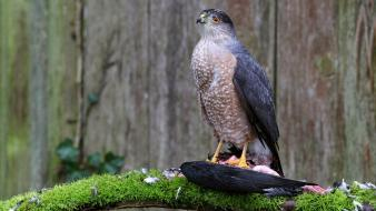 Birds animals bird of prey wallpaper