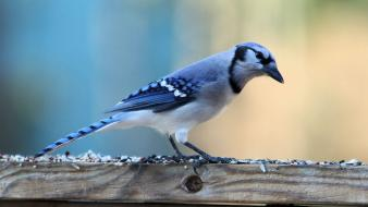 Birds blue jay Wallpaper