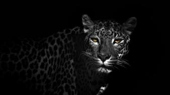 Black and white animals leopards wallpaper