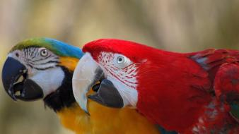 Blue-and-yellow macaws macaw scarlet birds parrots wallpaper