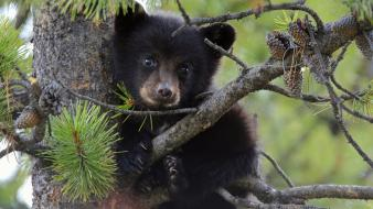 Climbing trees animals bears black bear baby wallpaper