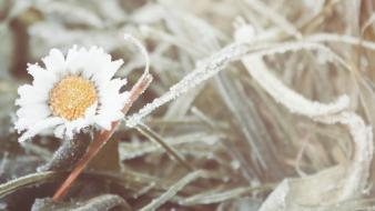 Flowers frost macro wallpaper