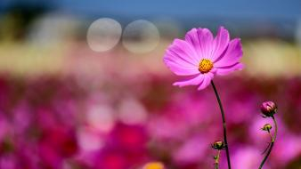 Flowers macro depth of field pink cosmos flower wallpaper