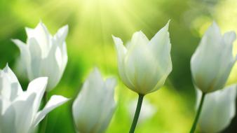 Flowers tulips Wallpaper