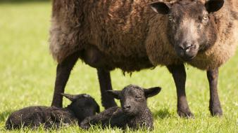 Grass sheep lambs baby animals wallpaper