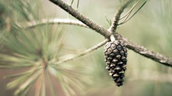 Macro pinecones pine trees Wallpaper