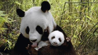 Nature animals panda bears baby background wallpaper