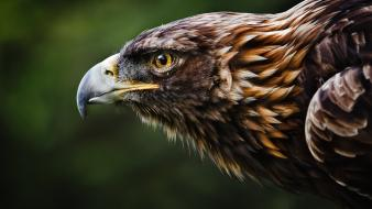 Nature birds animals eagles golden eagle wallpaper