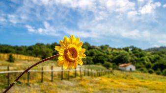 Nature flowers fields sunflowers yellow blurred background wallpaper