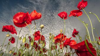 Nature flowers poppy wallpaper