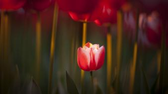 Red flowers tulips macro Wallpaper