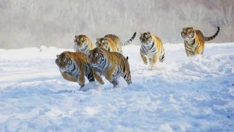 Snow animals tigers running wallpaper