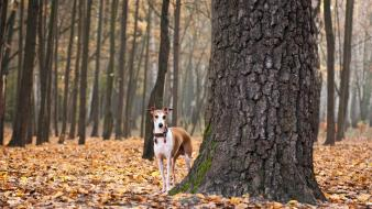 Trees dogs fallen leaves wallpaper