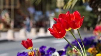 Tulips depth of field red blurred background wallpaper