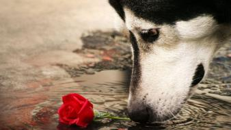 Water red animals dogs sad husky roses Wallpaper