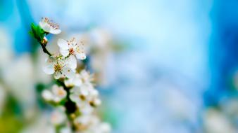 Apple Tree Bloom wallpaper